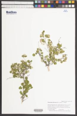 Physocarpus alternans image