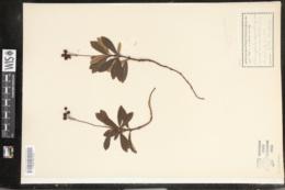 Chimaphila umbellata var. cisatlantica image