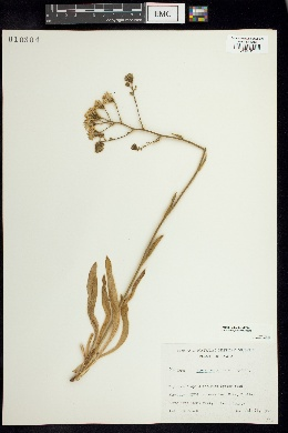 Image of Pilosella glomerata