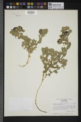Lathyrus littoralis image