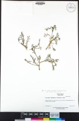 Lepidium coronopus image
