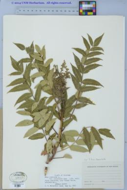 Image of Rhus lanceolata