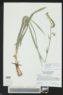 Image of Anticlea mogollonensis