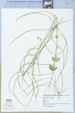 Asclepias engelmanniana image