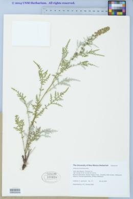 Ambrosia tomentosa image