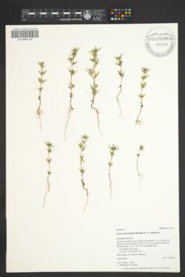 Crusea diversifolia image