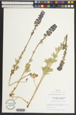 Delphinium strictum image