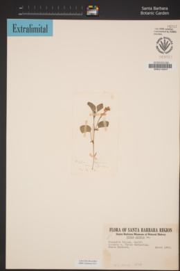 Viola adunca image