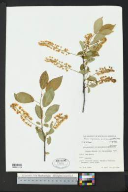 Prunus virginiana var. melanocarpa image
