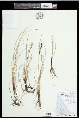 Image of Carex x flavicans
