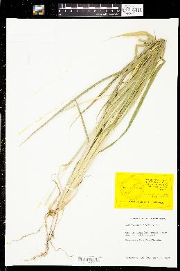 Image of Rottboellia cochinchinensis