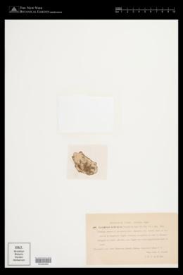 Leptolyngbya ochracea image