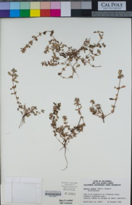 Bergia texana image