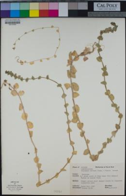 Triodanis biflora image