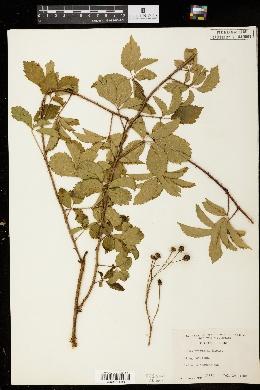 Image of Rubus trivialis