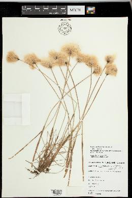 Image of Eriophorum x medium