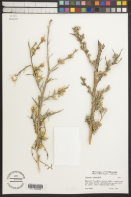 Centaurea solstitialis image