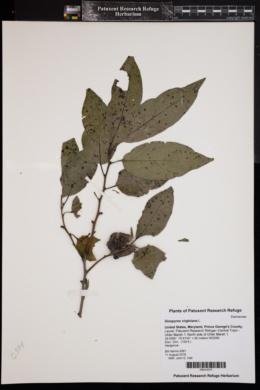 Diospyros virginiana image
