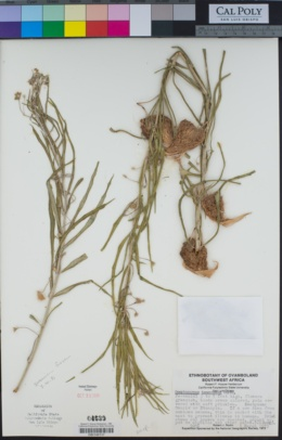 Image of Gomphocarpus tomentosus