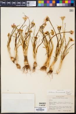 Allium drummondii image