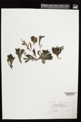 Halopteris funicularis image