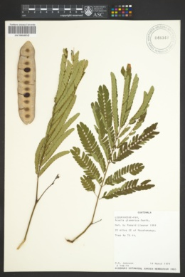 Acacia glomerosa image