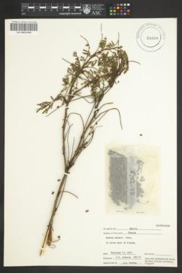 Image of Mimosa palmeri