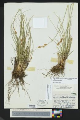 Carex petasata image