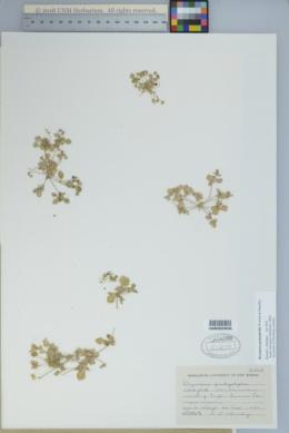 Drymaria pachyphylla image