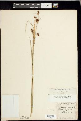 Cladium mariscoides image