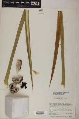 Yucca angustissima var. kanabensis image