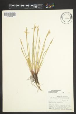 Sisyrinchium campestre image