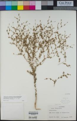 Image of Calycadenia hooveri