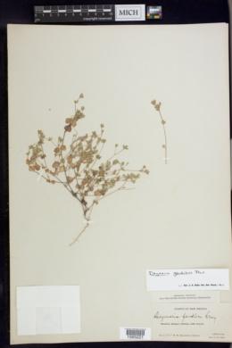 Drymaria glandulosa image