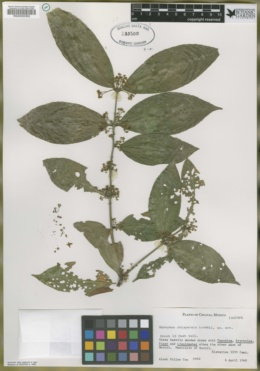 Image of Euonymus chiapensis