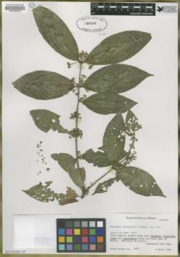 Image of Euonymus chiapensis