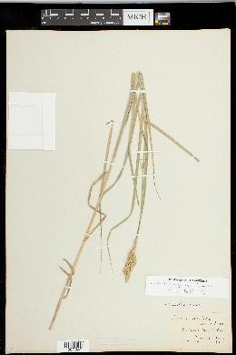 Carex muskingumensis image