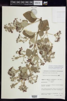 Image of Banisteriopsis quadriglandula