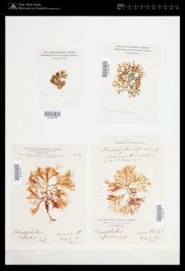 Rhodophyllis reptans image