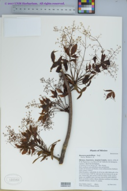 Bursera penicillata image