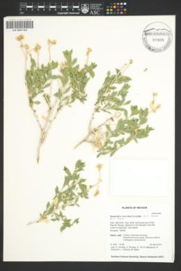 Hazardia brickellioides image