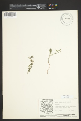 Image of Galium munzii