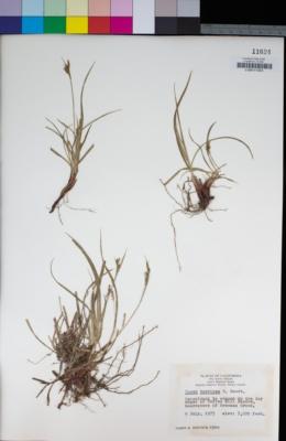 Image of Carex brevipes