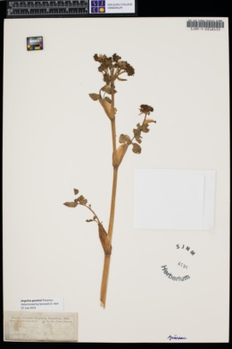 Image of Angelica gmelinii