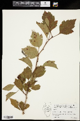 Image of Crataegus nitida