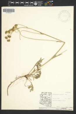 Hymenopappus mexicanus image