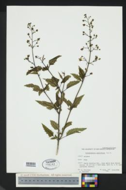 Scrophularia parviflora image