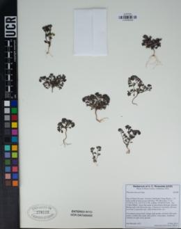 Phacelia saxicola image