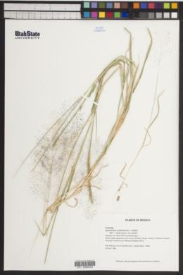 Image of Sporobolus coahuilensis