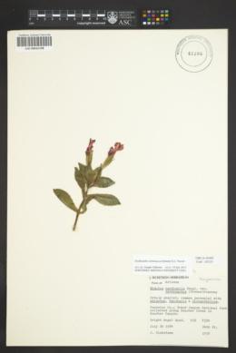 Erythranthe verbenacea image